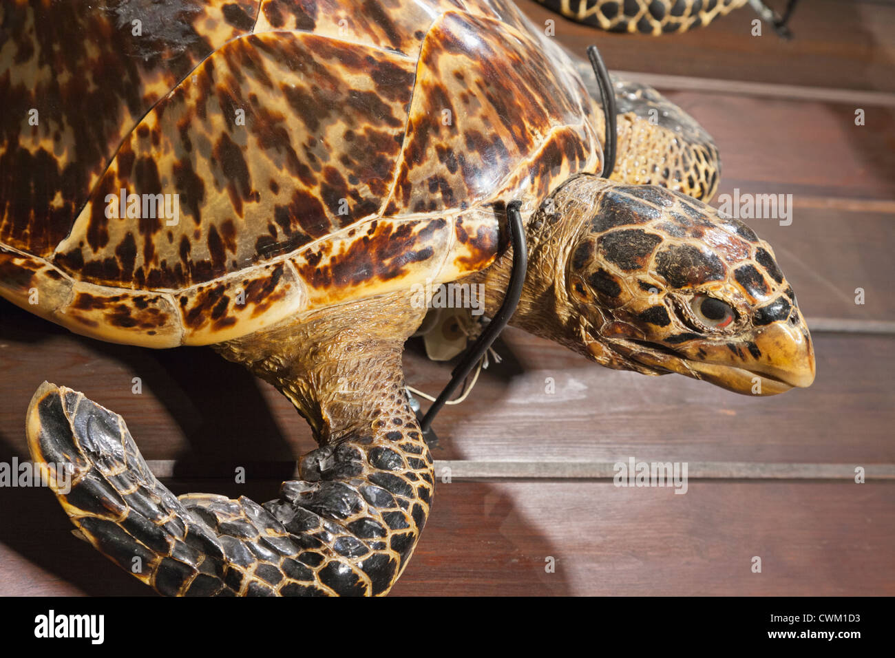 England, London, University College London, The Grant Museum of Zoology, Hawksbill Turtle - Stock Image