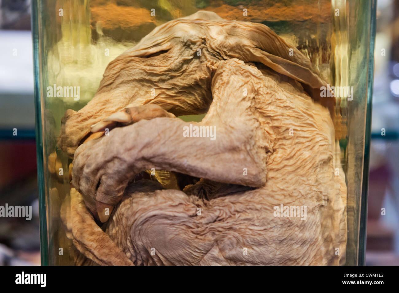 England, London, University College London, The Grant Museum of Zoology, Infant Aardvark - Stock Image