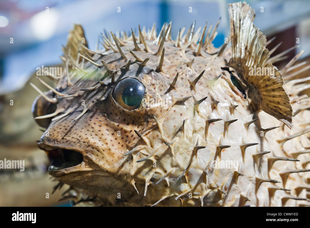 England, London, University College London, The Grant Museum of Zoology, Puffer Fish - Stock Image