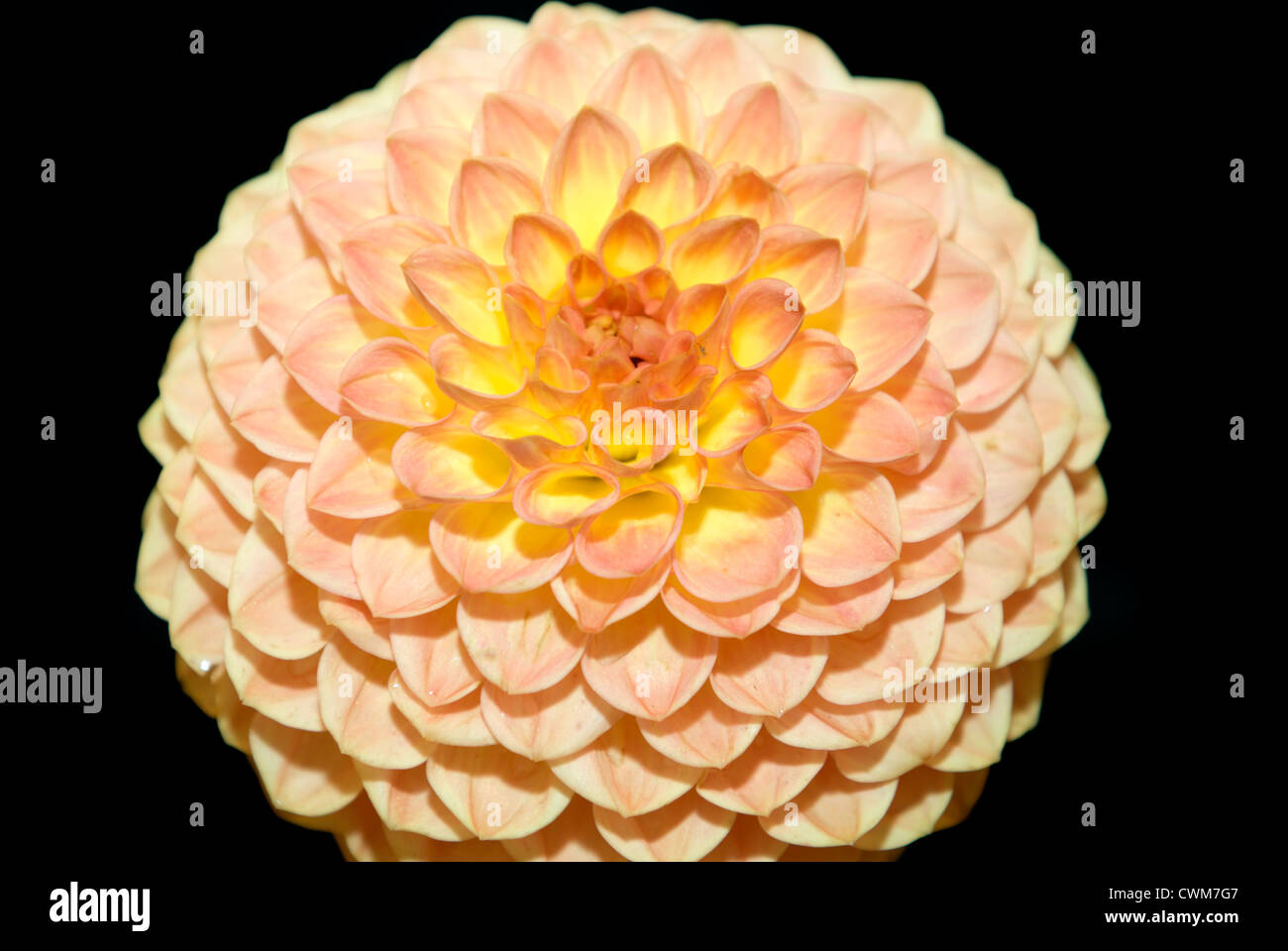 A magnificent example of the Dahlia `Blyton Softer Gleam` on the Darren Everest stand. Stock Photo