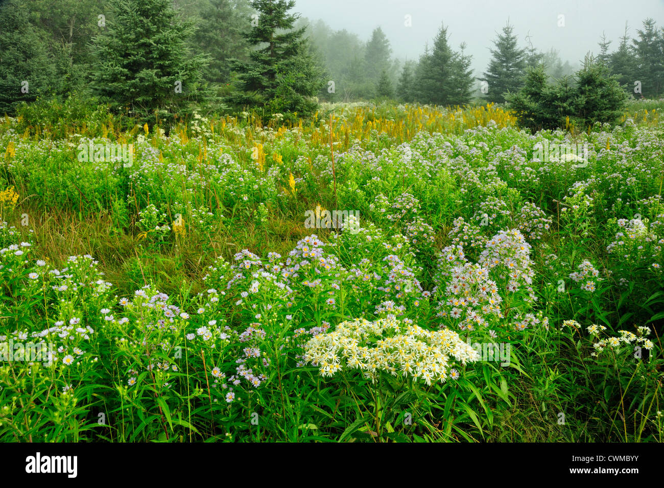 Asters and goldenrod in meadow, Greater Sudbury, Ontario, Canada - Stock Image