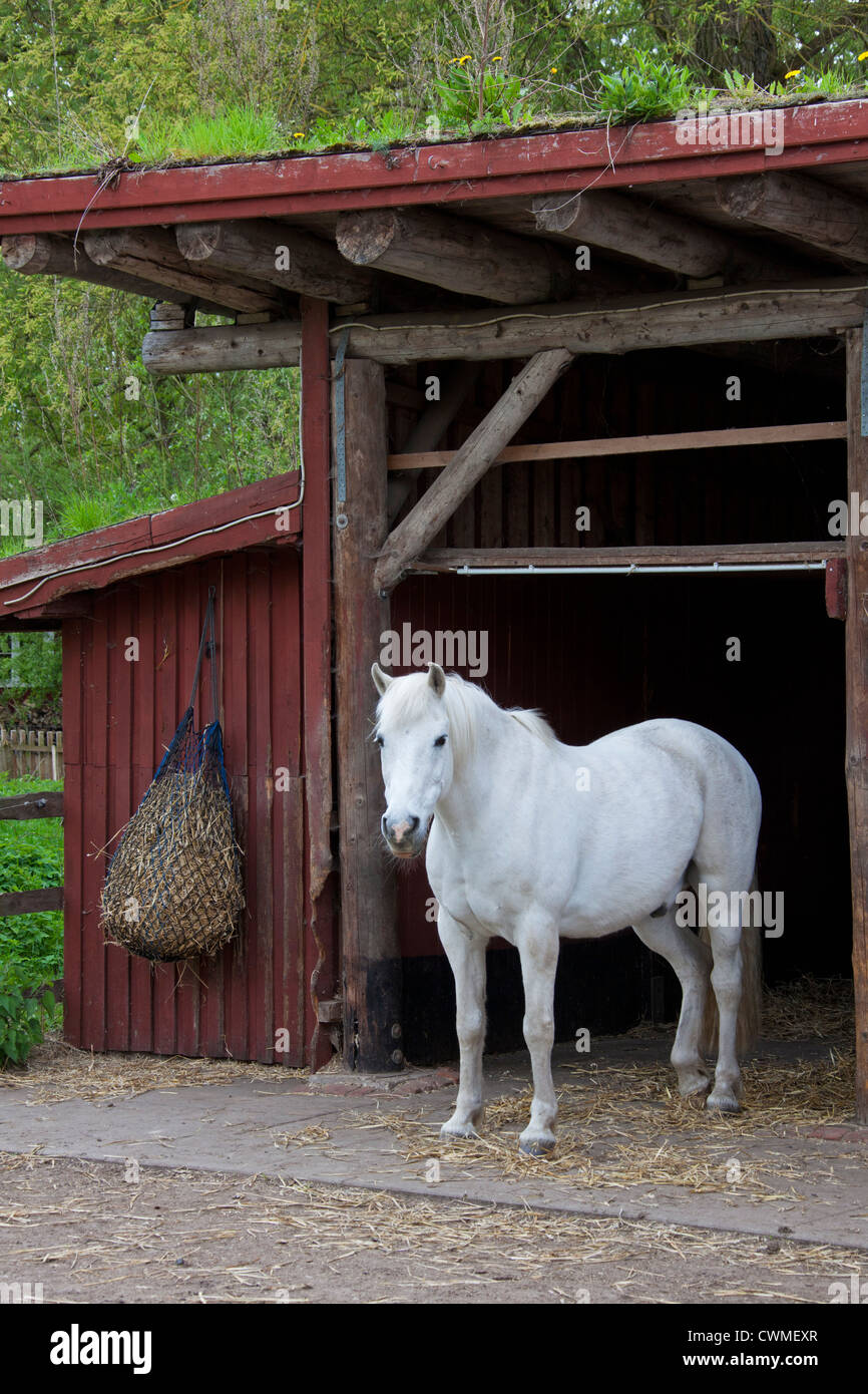 White horse (Equus caballus) stallion and hay bag hanging from stable, Germany - Stock Image