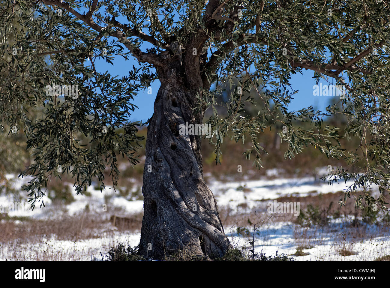 Olive tree in snowy landscape (Pelion Peninsular, Thessaly, Greece) Stock Photo