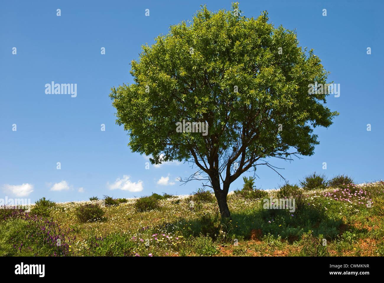 Almond tree on flowering meadow in springtime - Stock Image