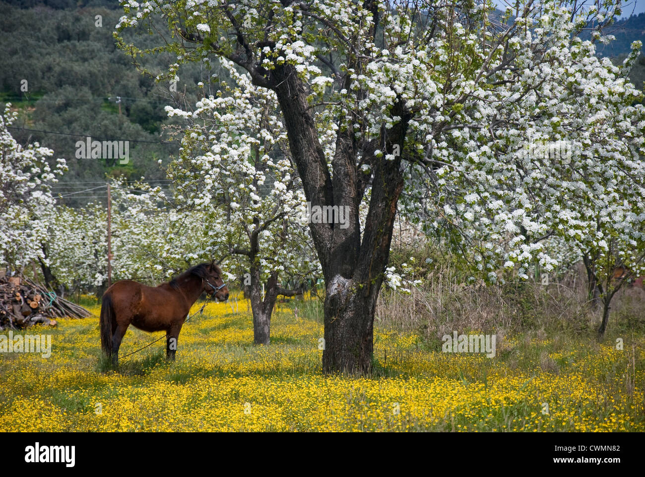 A horse standing on a yellow-blossomed meadow beneath blossoming pear trees (Pelion peninsula, Thessaly, Greece) Stock Photo