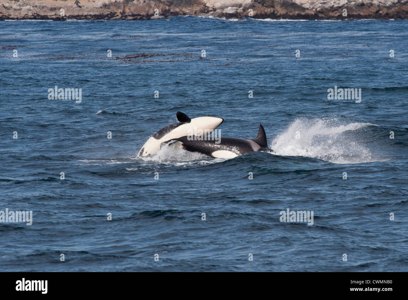Two juvenile Transient Killer Whales or Orcas (Orcinus orca), breaching, Monterey, California, Pacific Ocean. - Stock Image