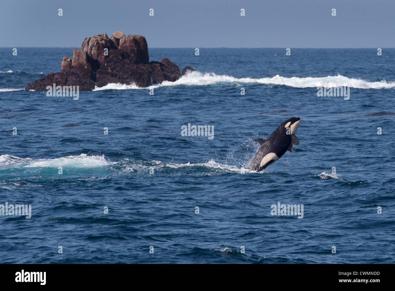 Juvenile Transient Killer Whale or Orca (Orcinus orca), breaching, Monterey, California, Pacific Ocean. - Stock Image