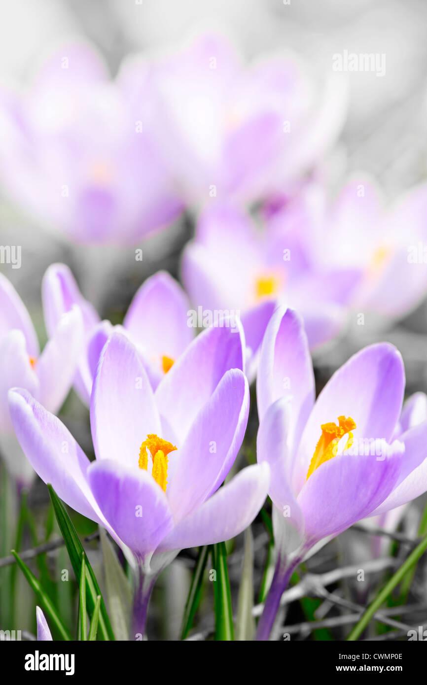 Closeup of beautiful purple crocus flowers blossoming Stock Photo