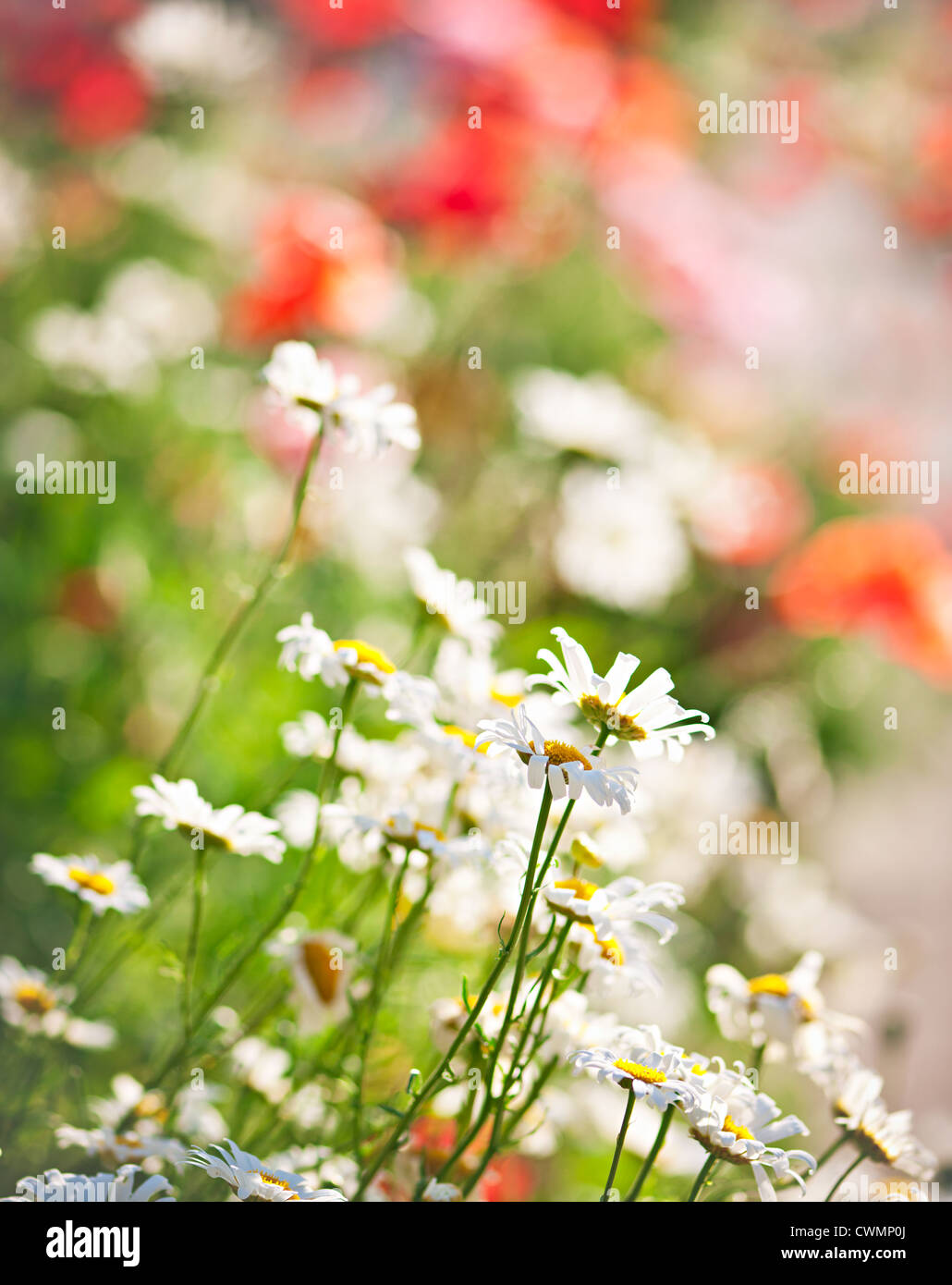 Colorful summer meadow with blooming daisies and poppies - Stock Image