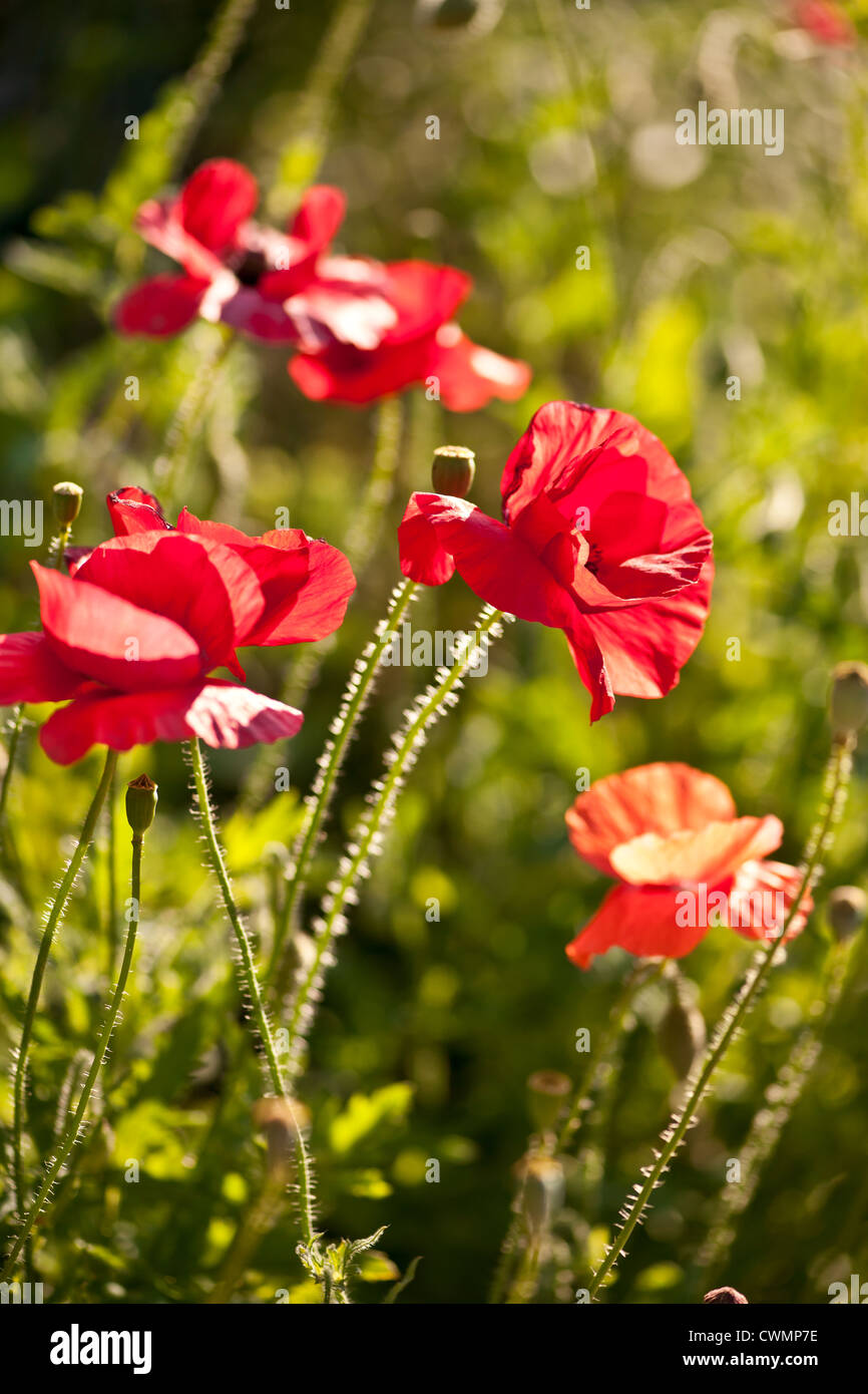 Red poppy flowers growing in sunny garden - Stock Image