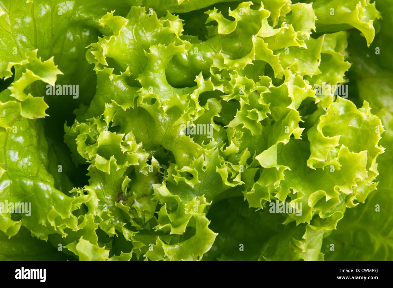 fresh salad lettuce background - Stock Image