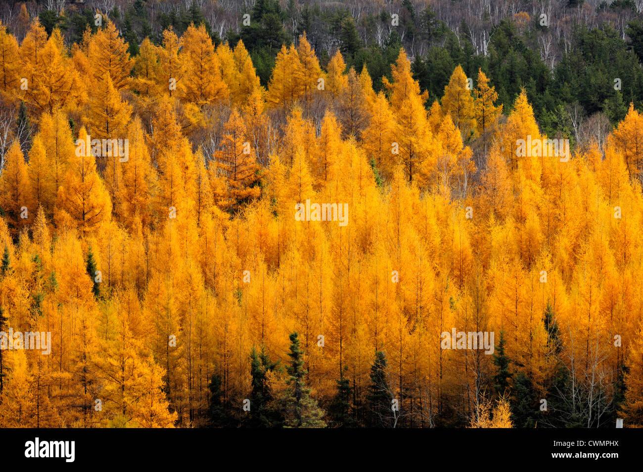 Eastern larches in autumn foliage, Greater Sudbury (Wahnapitae), Ontario, Canada Stock Photo