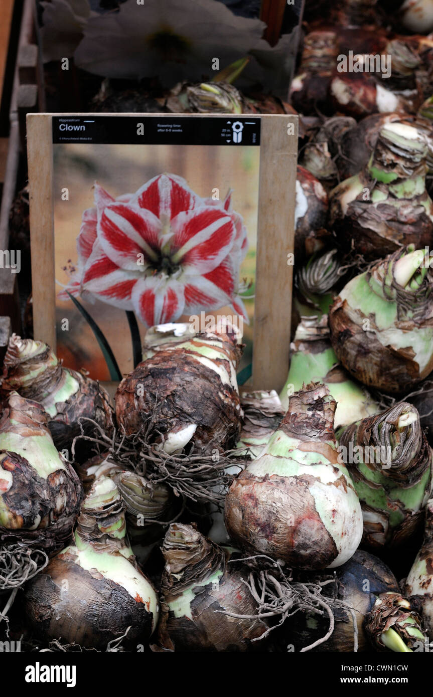 rows line row lines box boxes amaryllis bulb bulbs on sale amsterdam flower flowering christmas market Stock Photo