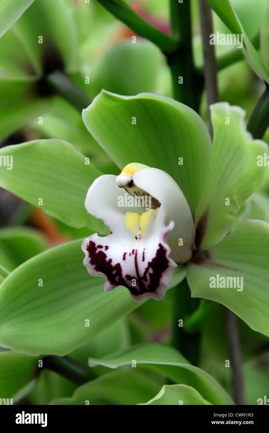 cymbidium alice anderson green white orchid hybrid tropical exotic close-up flora flower bloom blossom tender Color - Stock Image
