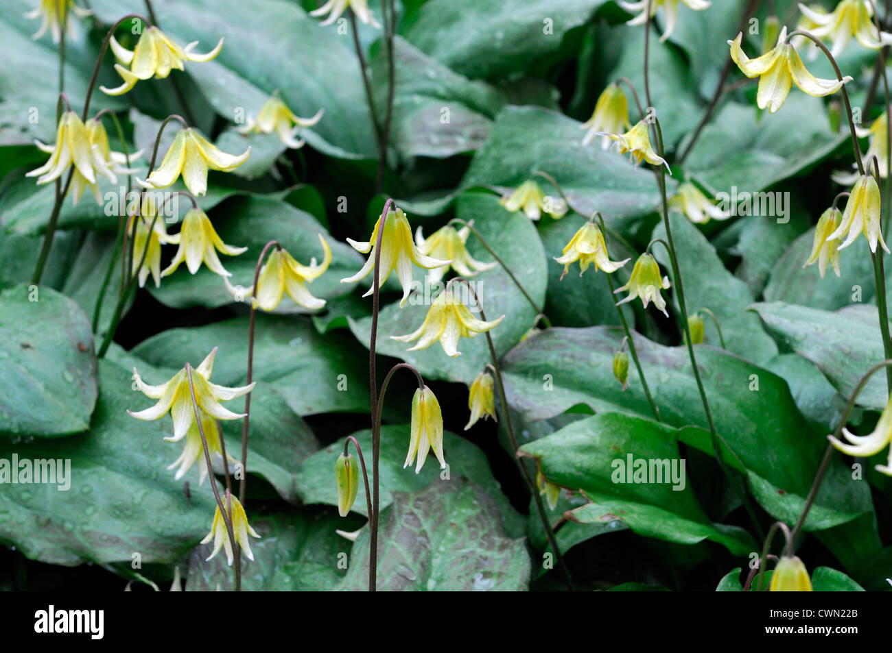 Erythronium pagoda yellow flower woodland shade avalanche lily fawn erythronium pagoda yellow flower woodland shade avalanche lily fawn lily glacier lily trout lily flower spring bloom blossom izmirmasajfo