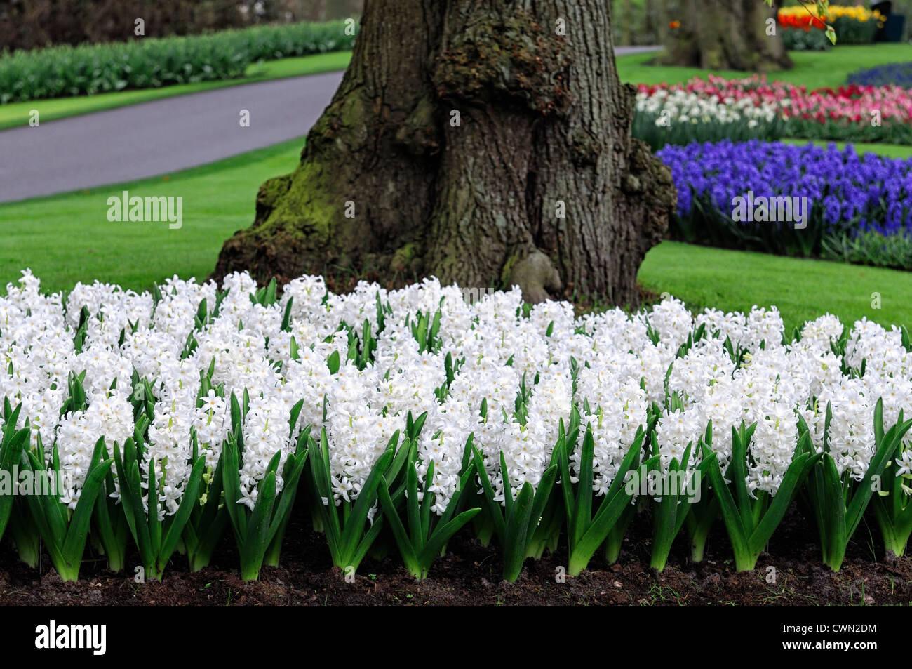 Hyacinth hyacinthus orientalis carnegie white flower flowers blooms hyacinth hyacinthus orientalis carnegie white flower flowers blooms blossoms bed beds border spring bulb display displays mightylinksfo