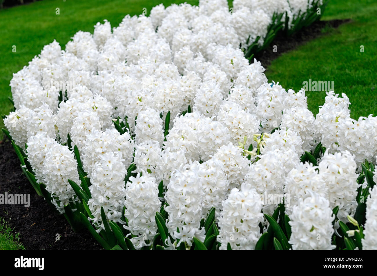 White bed stock photos white bed stock images alamy hyacinth hyacinthus orientalis carnegie white flower flowers blooms blossoms bed beds border spring bulb display mightylinksfo