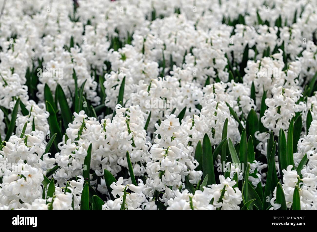 Hyacinth hyacinthus orientalis linnocence white flower flowers hyacinth hyacinthus orientalis linnocence white flower flowers blooms blossoms bed beds border spring bulb display mightylinksfo