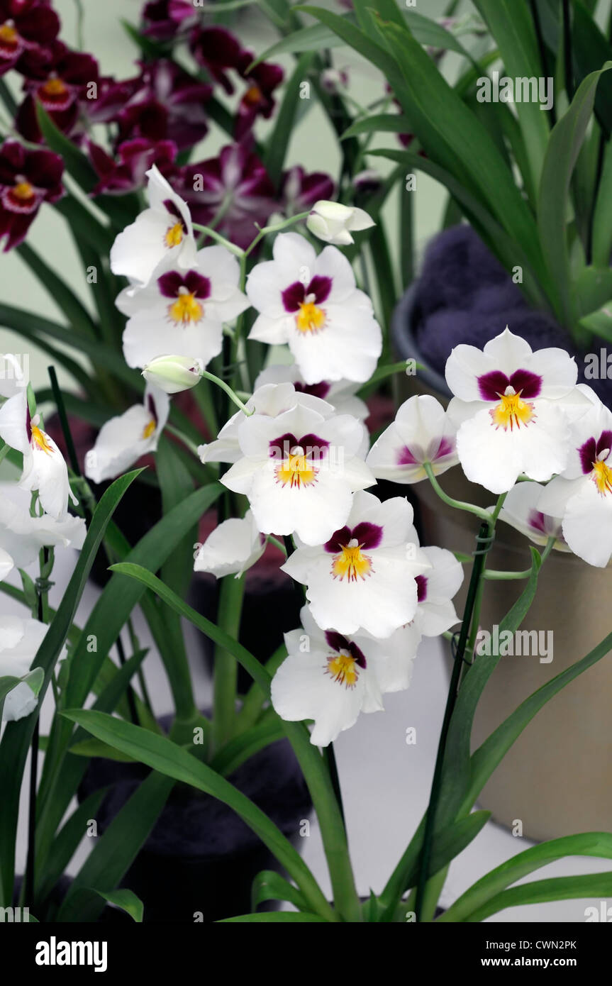 miltonopsis orchids purple yellow white markings flowers floral miltonia hybrid orchid flower blossom bloom - Stock Image