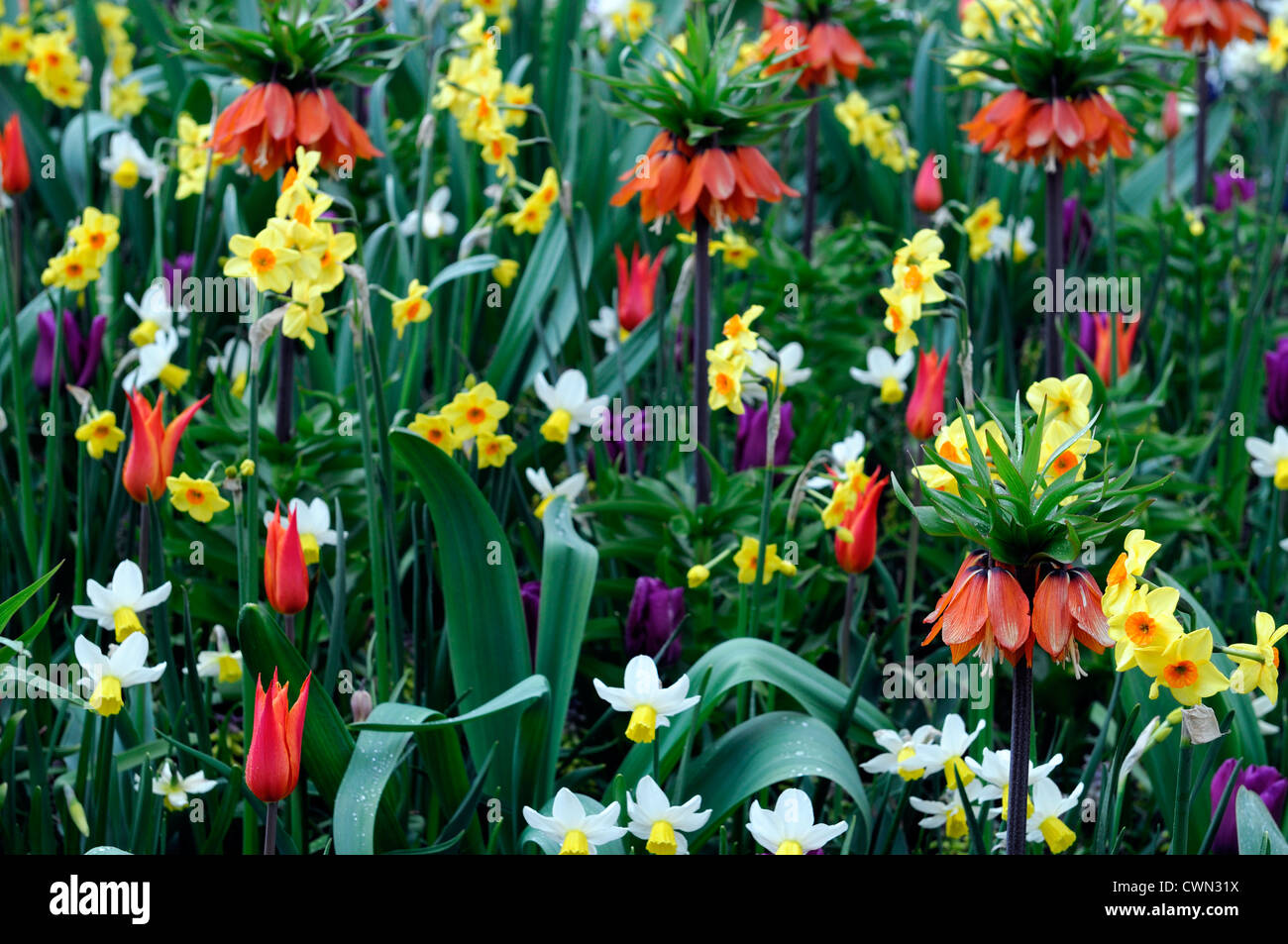 Mixed bed border spring blooming bulbs orange yellow white color mixed bed border spring blooming bulbs orange yellow white color colour combo combination mix mixed planting display scheme mightylinksfo