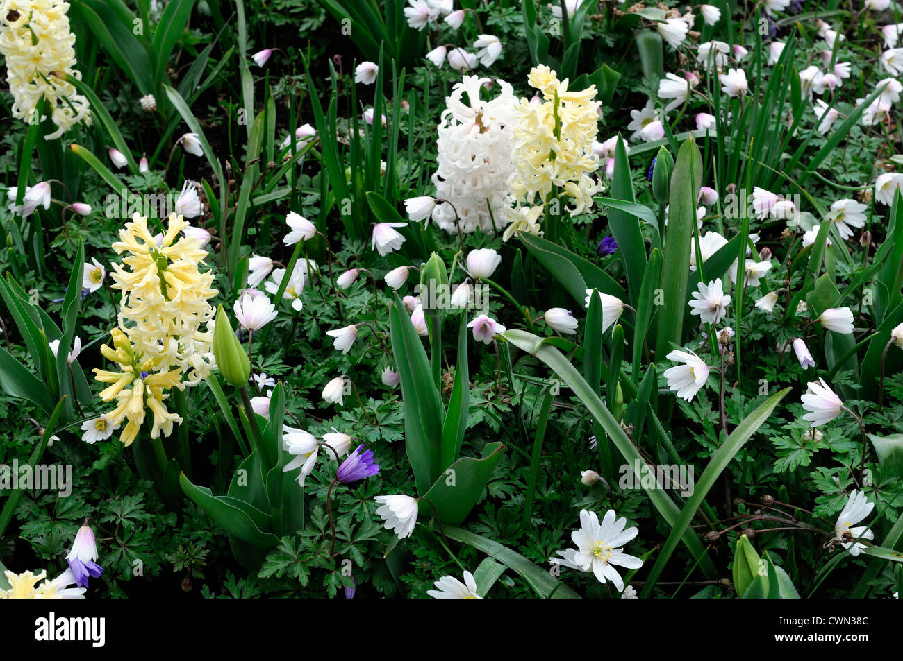Mixed bed border spring blooming bulbs yellow white color colour combo combination mix mixed planting display scheme - Stock Image