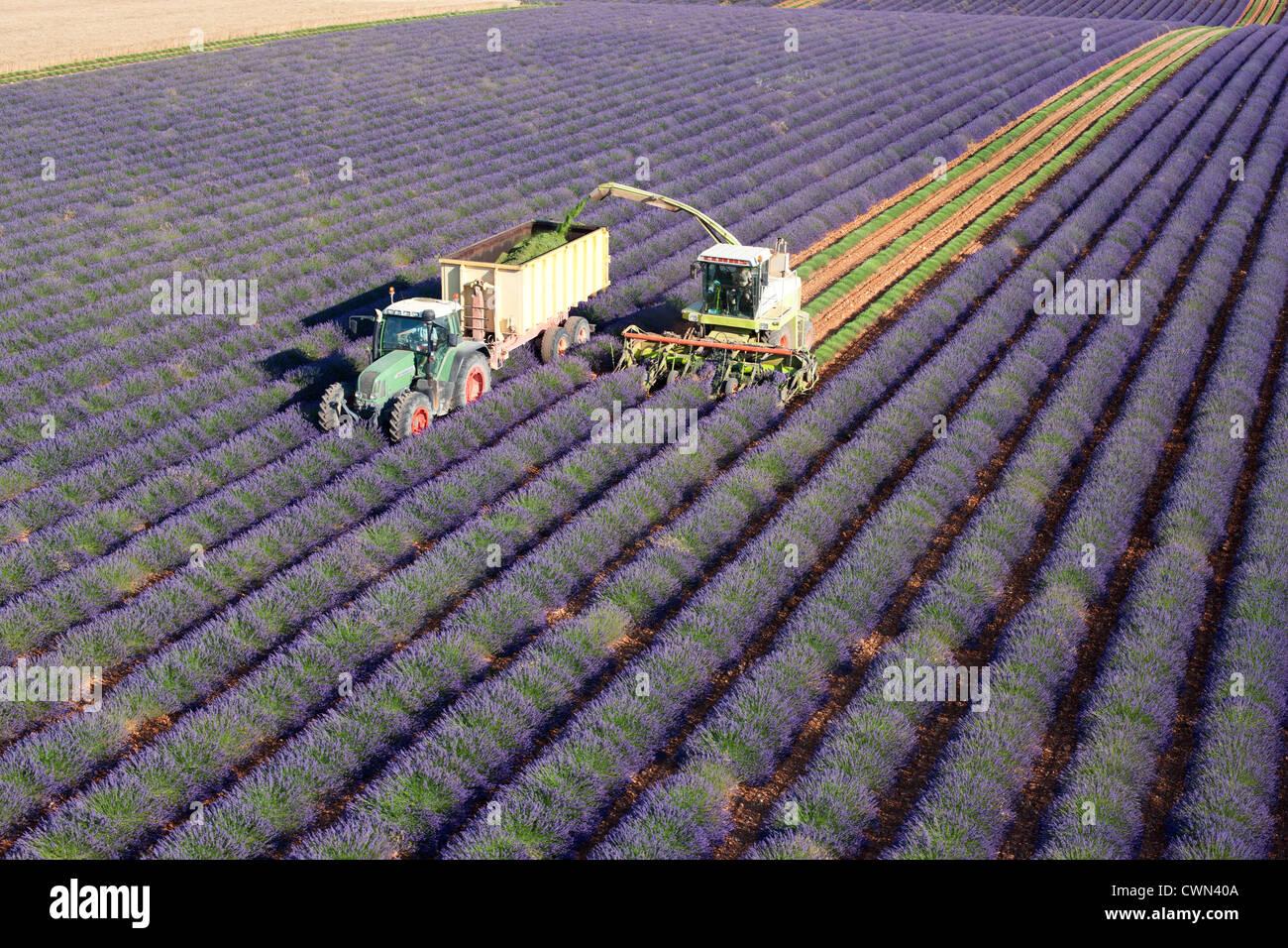 LAVENDER HARVEST (aerial view). Puimoisson, Valensole Plateau, Provence, France. - Stock Image