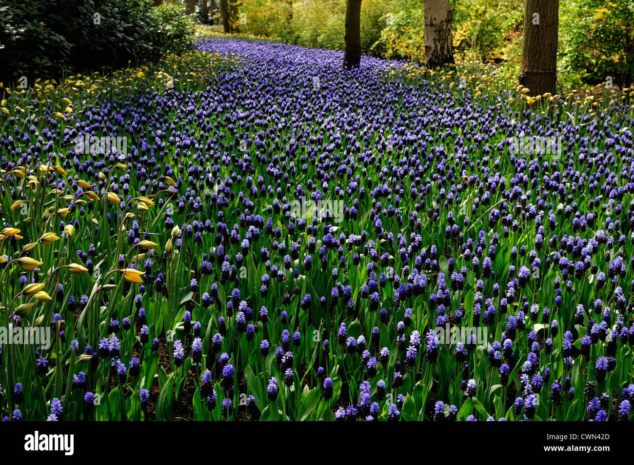 Muscari latifolium blue flowers tulipa sylvestris river effect bed spring bulb flowering bloom blossom bed display drift scheme Stock Photo
