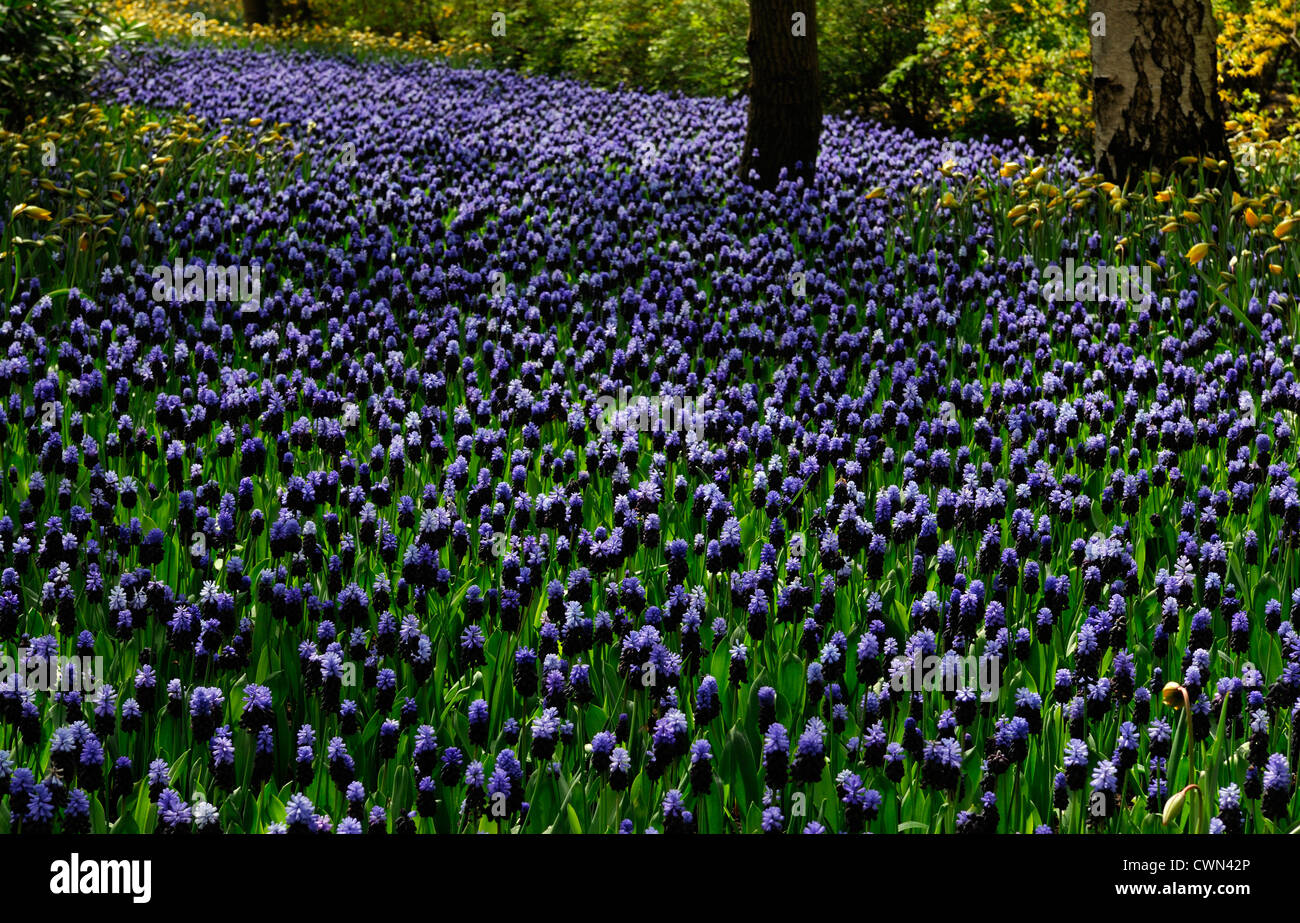 Muscari latifolium blue flowers tulipa sylvestris river effect bed spring bulb flowering bloom blossom bed display Stock Photo