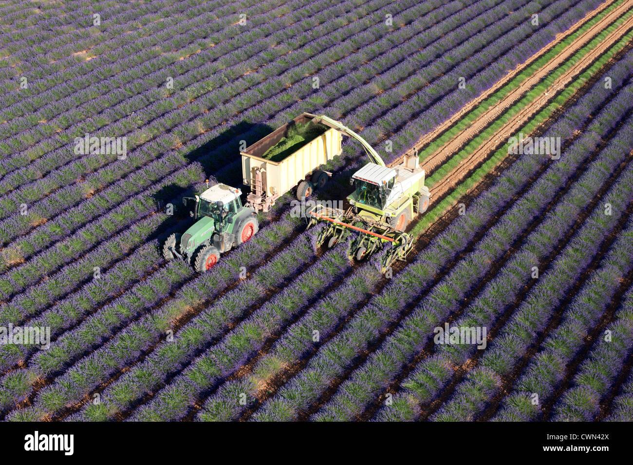 LAVENDER HARVEST (aerial view). Puimoisson, Valensole Plateau, Provence, France. Stock Photo