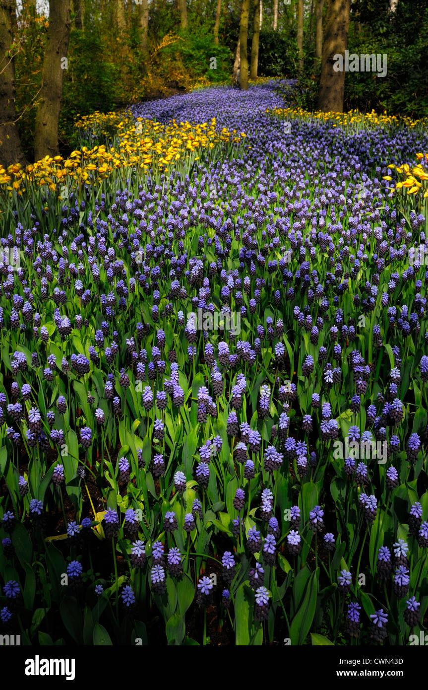 Muscari latifolium Tulipa sylvestris flowers river colour color keukenhof gardens lisse spring bloom blooming design landscape Stock Photo