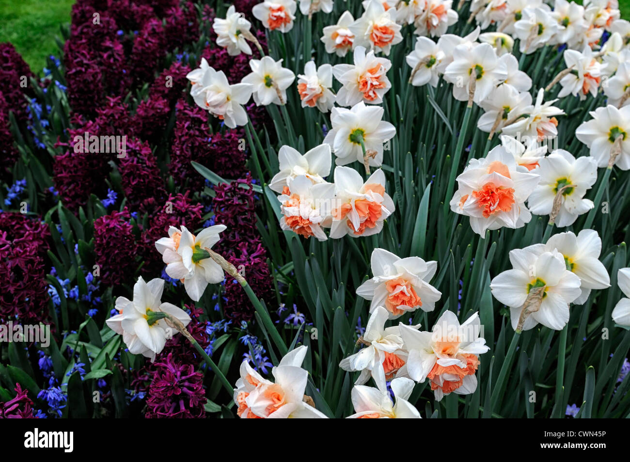 Narcissus my story hyacinth woodstock scilla siberica mix mixed planting scheme combination bulbs spring display - Stock Image