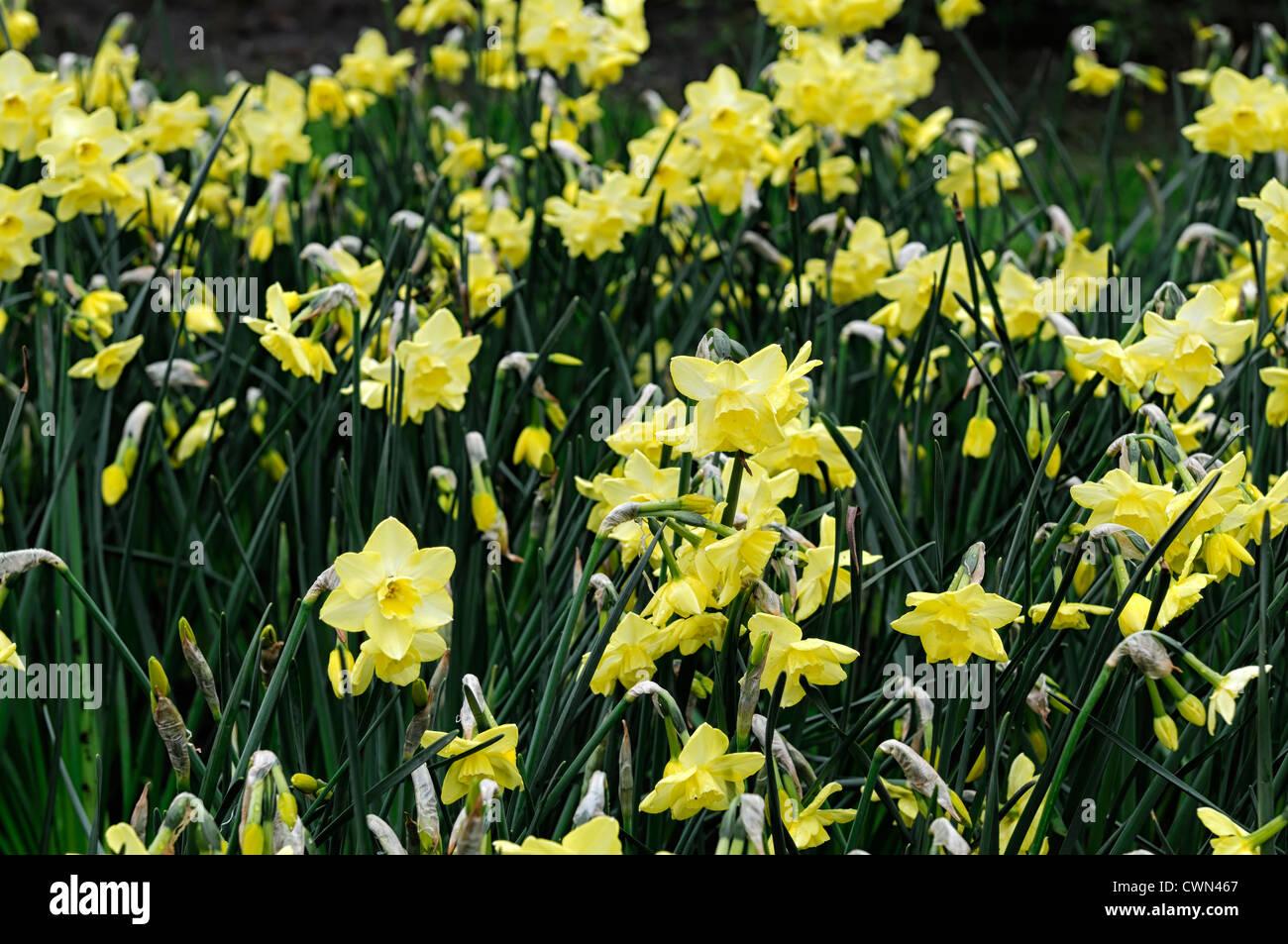 Narcissus regeneration yellow spray multi headed daffodil flowers drift bed spring bulb flowering bloom blossom - Stock Image