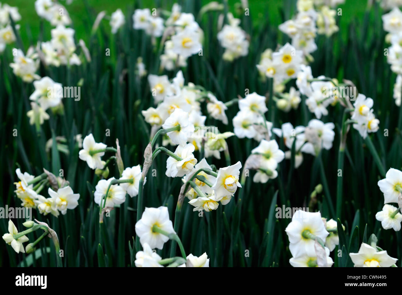 Narcissus cheerfulness white cream double daffodil flowers drift bed spring closeup plant portraits flowering bloom - Stock Image