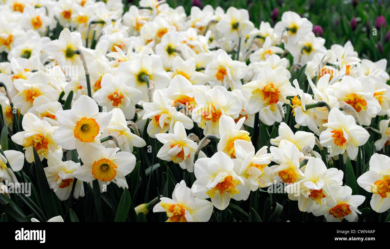 Daffodil daffodils orange white stock photos daffodil daffodils narcissus flower drift yellow orange white double daffodil flowers narcissi daffodils bulbs spring flowering bloom mightylinksfo