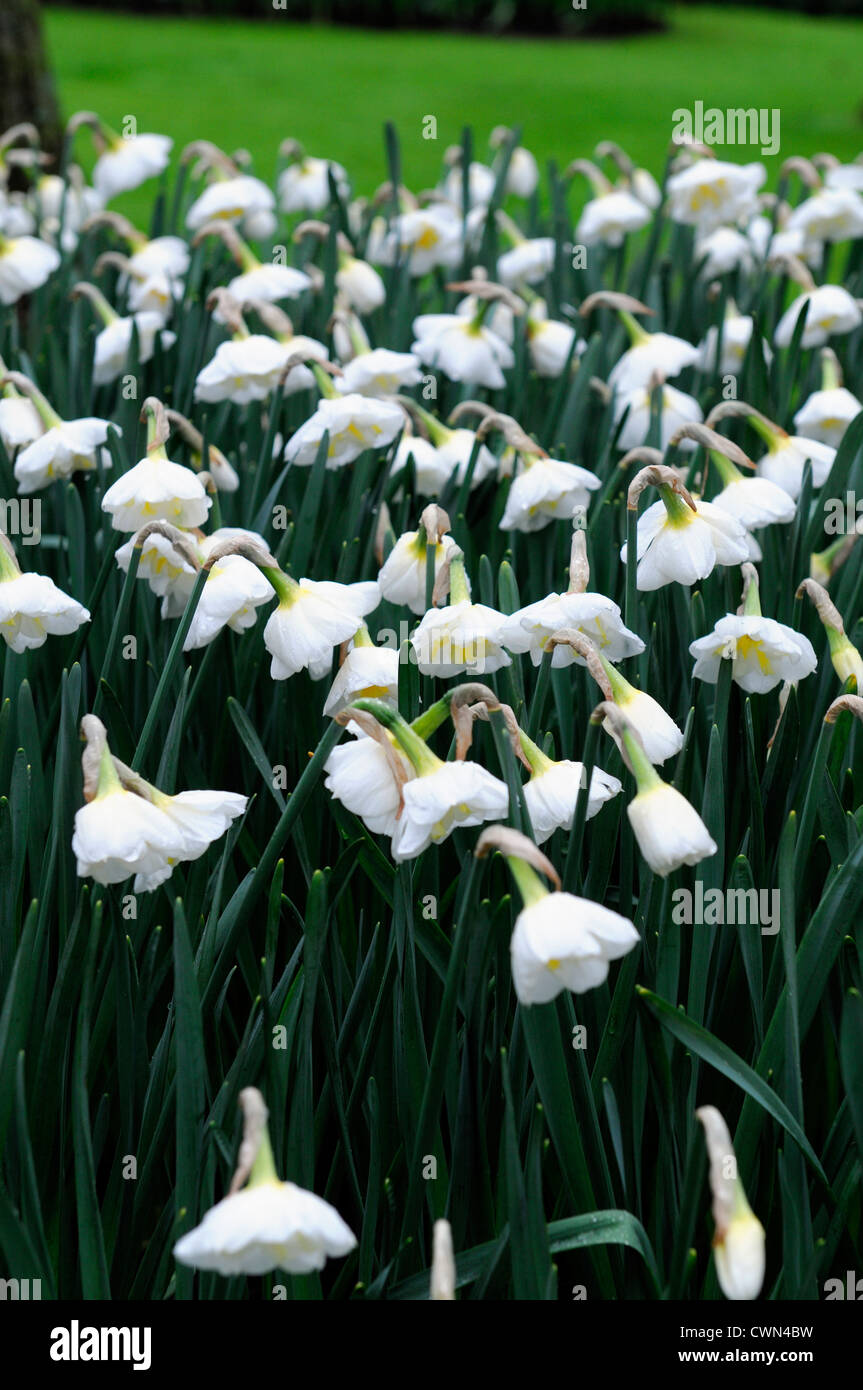 Narcissus Lemon Beauty Split Cupped Corona White Daffodil Flowers