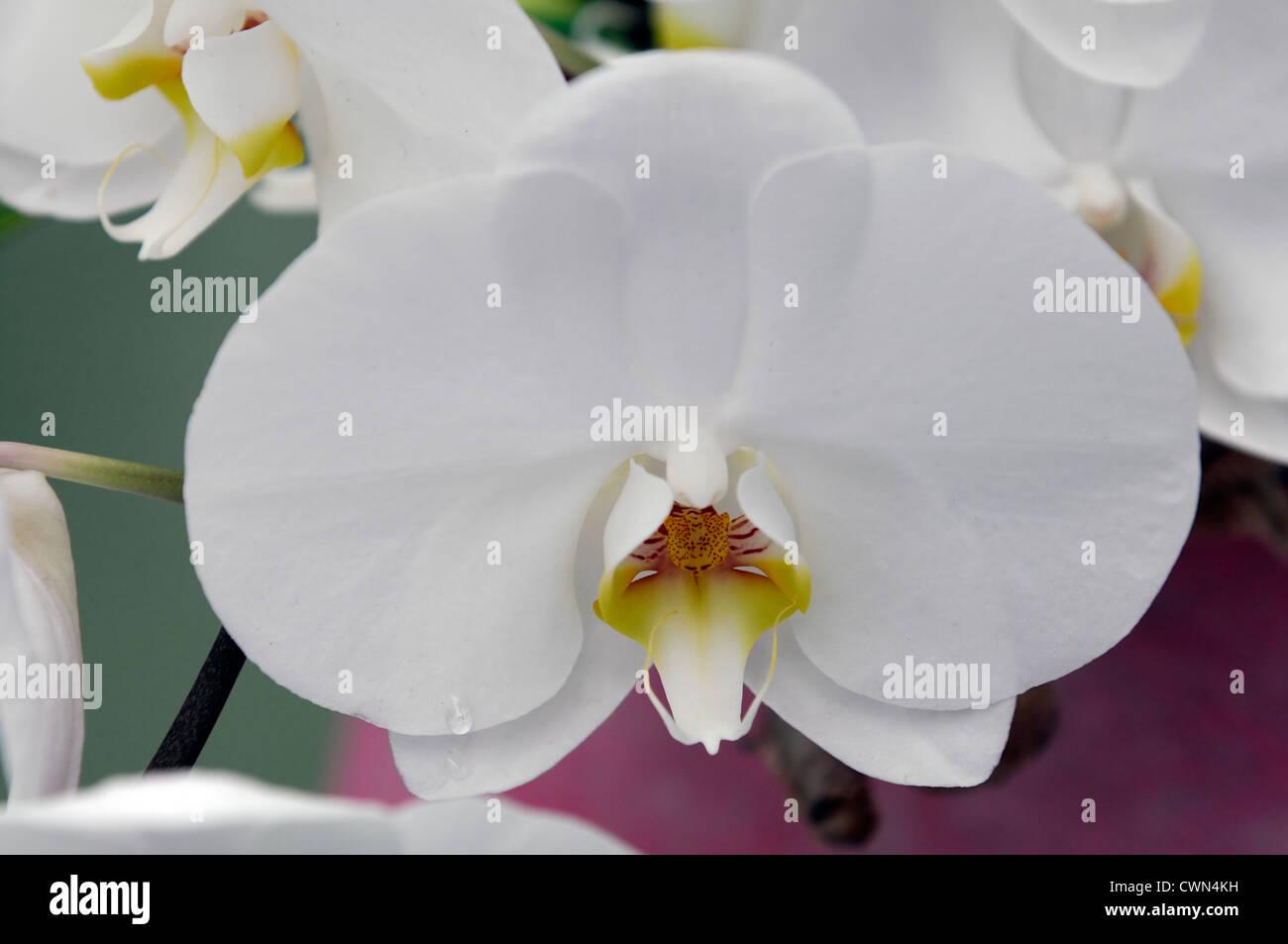 phalaenopsis phalboxi kobe moth orchid selective focus closeup plant portraits flowers petals houseplants tropical - Stock Image