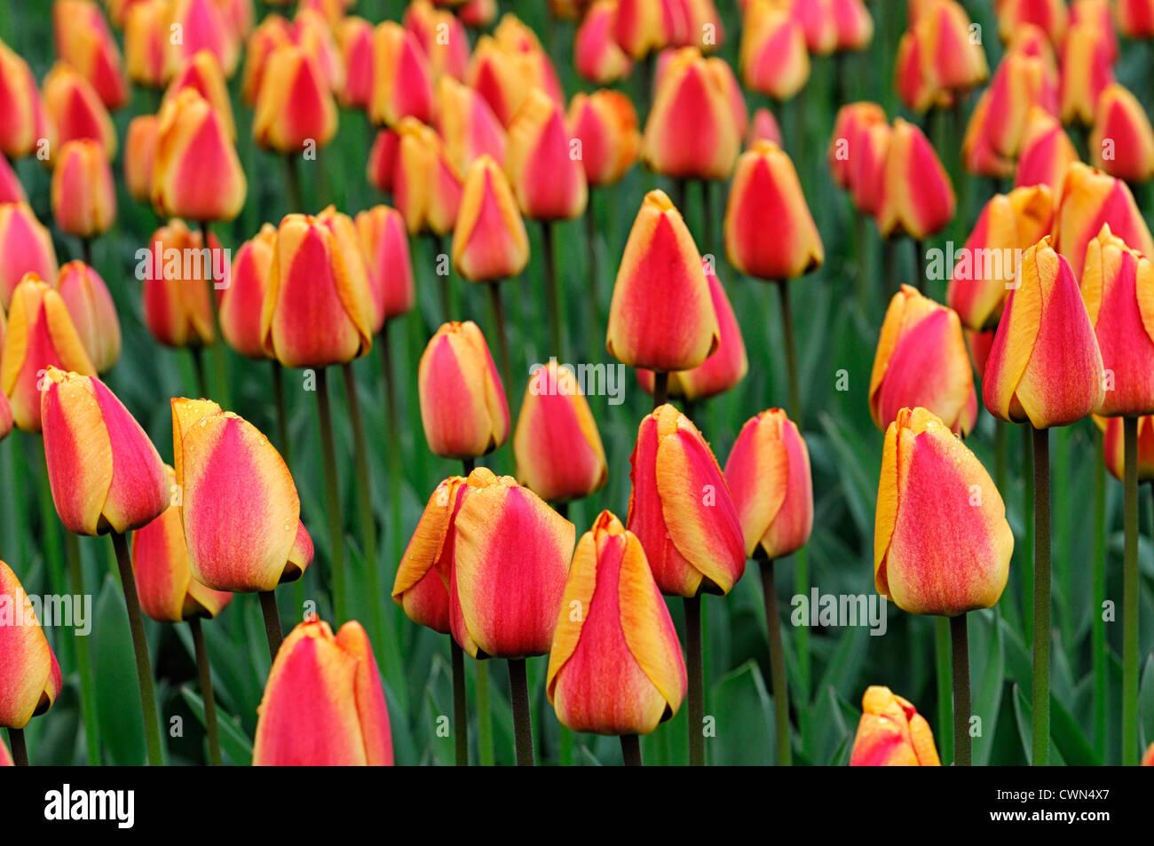 tulipa apeldoorns elite tulip darwin hybrid yellow orange garden flowers spring flower bloom blossom bed colour - Stock Image