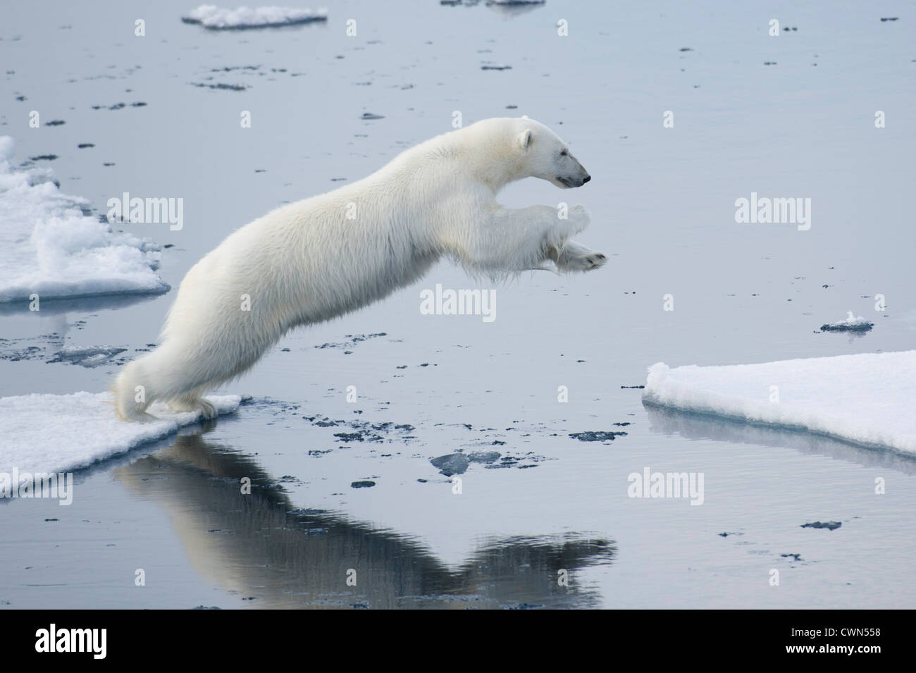 Polar bear, Ursus maritimus, jumping between floes of sea ice north of Spitsbergen, Svalbard, Arctic - Stock Image