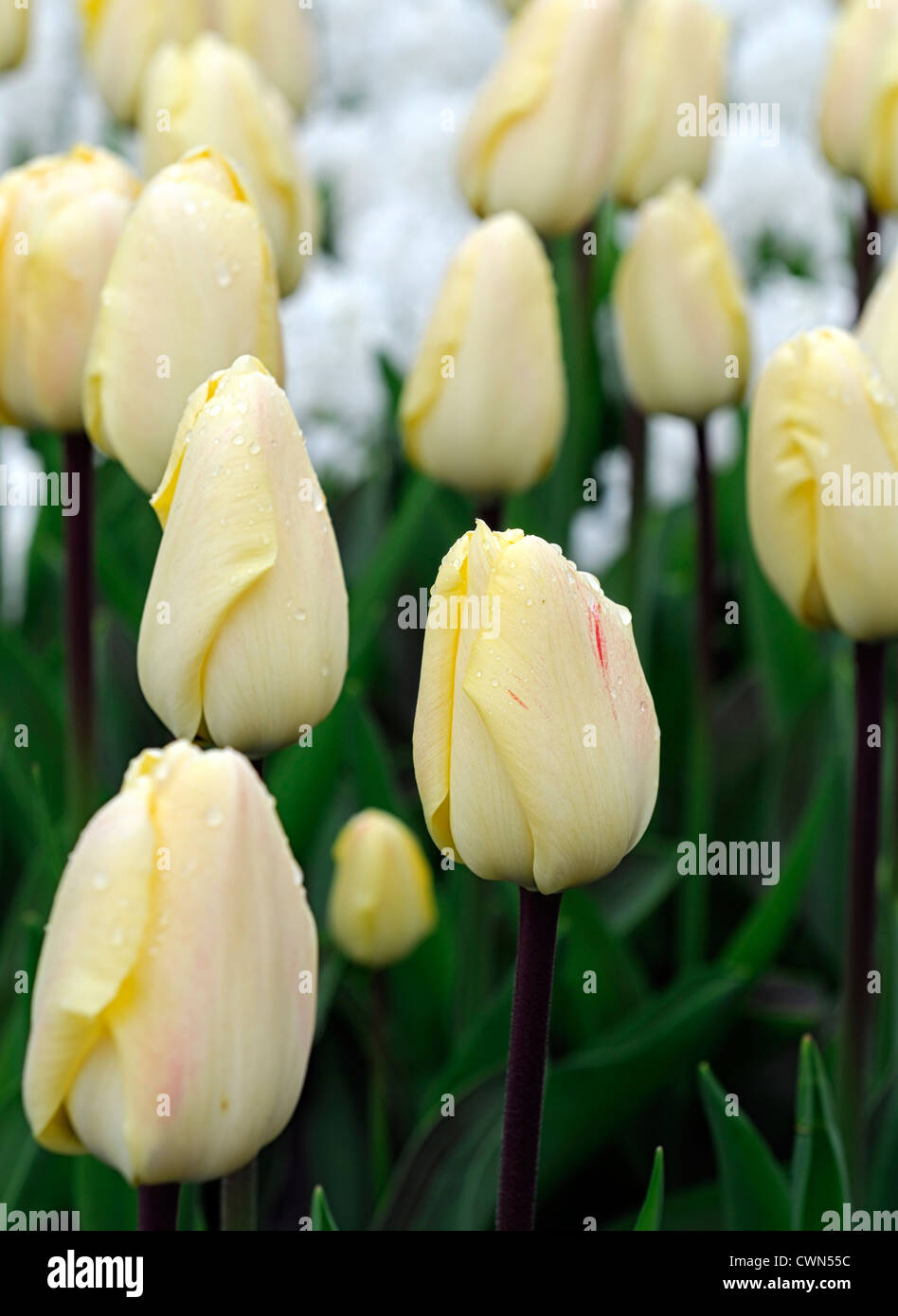Pale yellow to cream flower stock photos pale yellow to cream tulipa vanilla cream greigii pale yellow tulip garden flowers spring flower bloom blossom bed colour color mightylinksfo