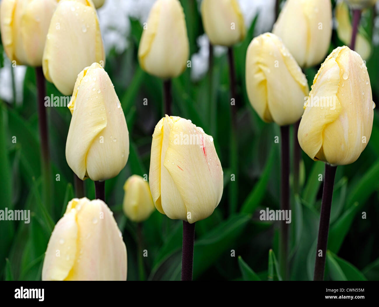 Pale Yellow Tulip Stock Photos & Pale Yellow Tulip Stock Images - Alamy
