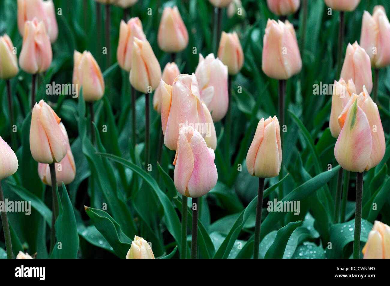 Tulipa apricot beauty triumph tulip flowers display spring flower bloom blossom bed colour color bulb - Stock Image