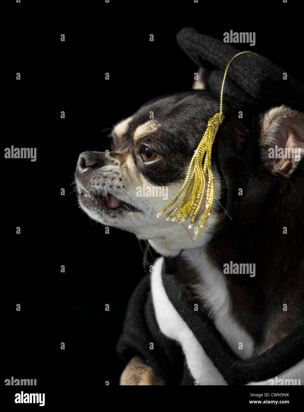 Cute Chihuahua In Cap And Gown For Graduation On Black Background