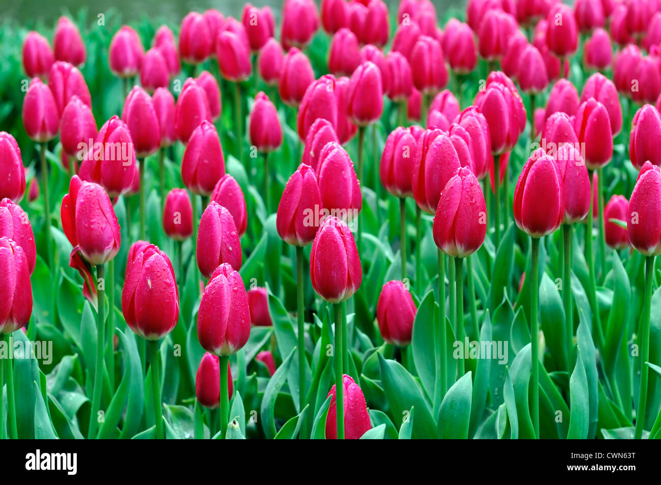 Tulip Delight Stock Photos Tulip Delight Stock Images Alamy