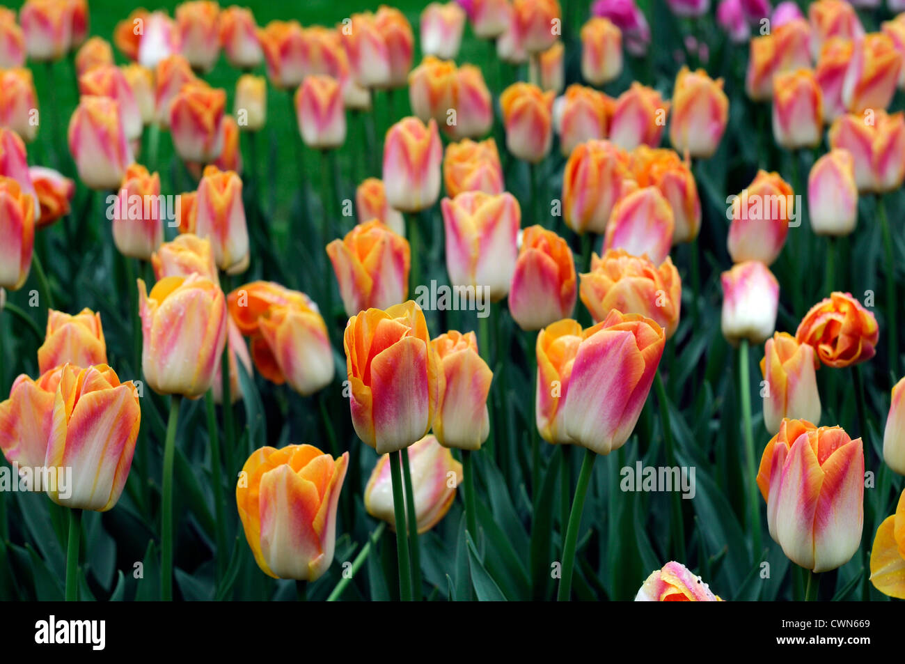 Tulipa salmon dynasty Triumph tulip ivory white edged pink yellow flowers spring flower bloom blossom bed two tone - Stock Image