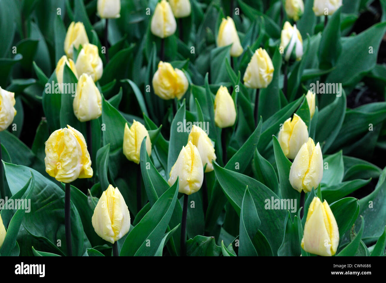 Tulipa Sunny Prince single early pale yellow tulip garden flowers ...