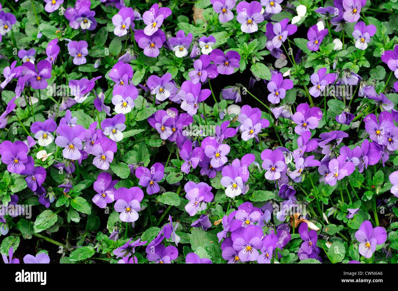 spring flower display purple viola violet perennial bed bloom blooming - Stock Image