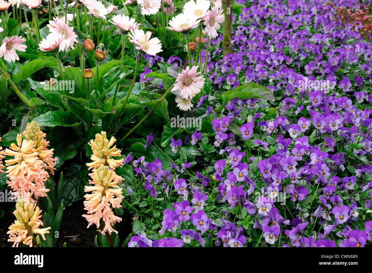 spring flower display blue viola gerbera everlast white peach hyacinth flowering bed bloom blossom - Stock Image