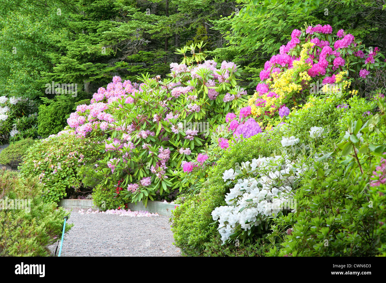 A path goes through a group of blooming rhododendrons and azaleas in the spring garden. Stock Photo
