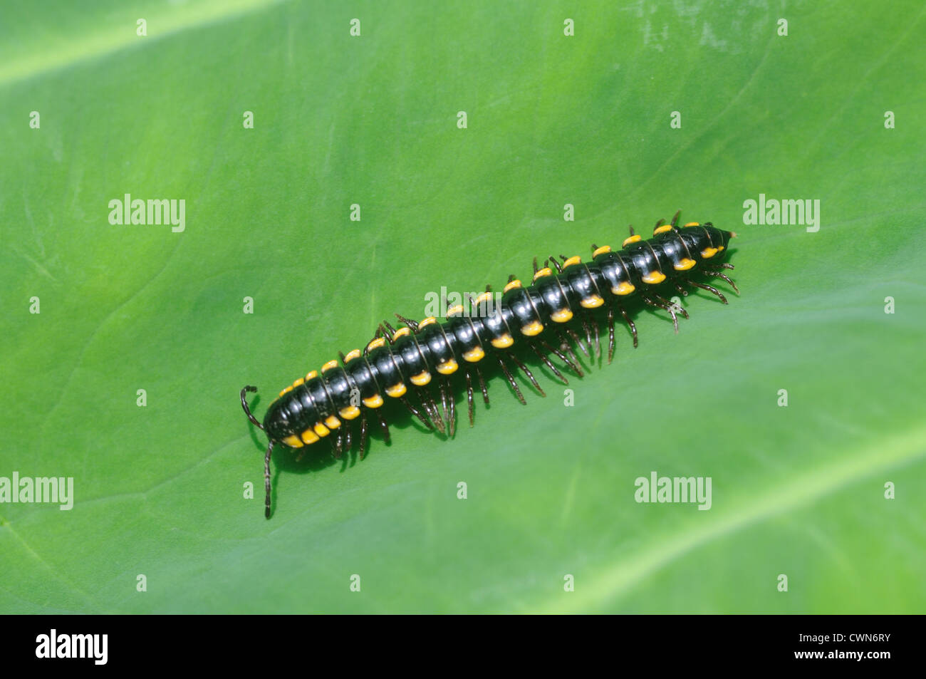 Millipede Millipedes are arthropods that have two pairs of legs per segment except for the first segment behind - Stock Image