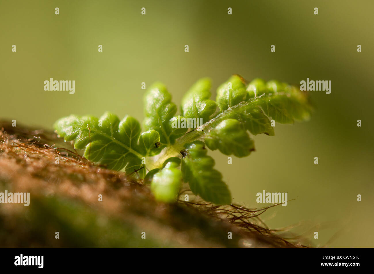 Dicksonia antartica, Fern, Tree fern - Stock Image